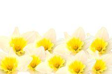 Free Daffodils Stock Image - 8376811