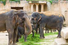 Free Elephants Eat Grass Royalty Free Stock Photo - 8377085