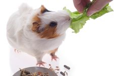 Free Guinea Pig Royalty Free Stock Image - 8378066
