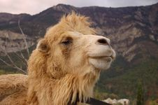 Free Head Of The Camel Royalty Free Stock Photography - 8378497