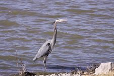 Free Great Blue Heron Royalty Free Stock Photos - 8378708