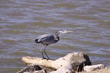 Free Great Blue Heron Stock Images - 8378854