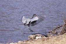 Free Great Blue Heron Royalty Free Stock Photo - 8378905