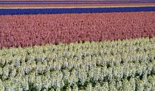 Free Hyacinths As Colourful Background Royalty Free Stock Image - 8379846