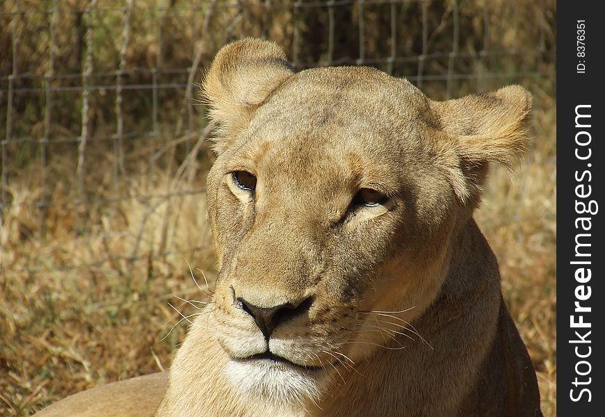 Pensive Lioness