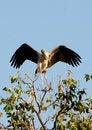 Free Painted Stork Stock Image - 8381041