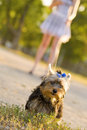 Free Woman With Tiny Terrier Royalty Free Stock Images - 8382599
