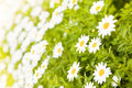 Free Field Of Daisies Royalty Free Stock Images - 8382919
