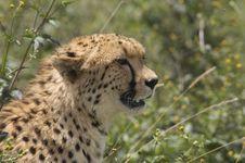Free Cheetahs Stock Image - 8380111