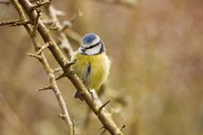 Blue Tit Resting On A Branch Stock Images