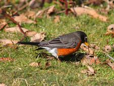 Free American Robin Stock Images - 8380534