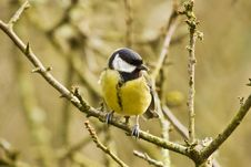 Free Irish Coal Tit Stock Photography - 8380562