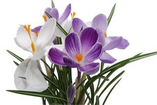 Free Flowerses Of The Spring Crocus Stock Photography - 8380862