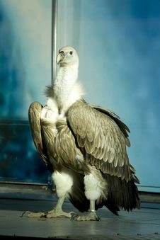 Free Griffon Vulture Royalty Free Stock Photography - 8380877