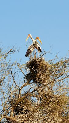 Painted Storks Royalty Free Stock Images