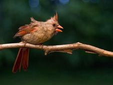 Free Female Cardinal Stock Photos - 8381693