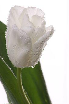 Free White Tulips. Stock Photos - 8382143