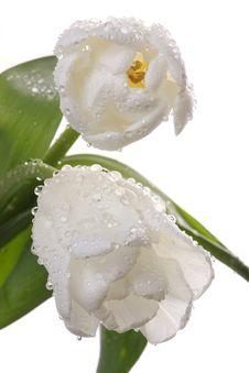 Free White Tulips. Royalty Free Stock Photos - 8382208