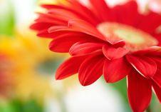 Free Red Daisy-gerbera Stock Image - 8382281