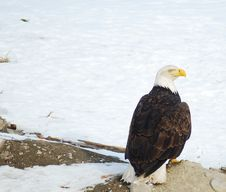 Free Bald Eagle Stock Photos - 8382303