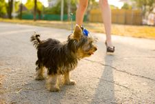 Free Woman With Tiny Terrier Royalty Free Stock Image - 8382306