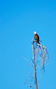 Free Bald Eagle Royalty Free Stock Image - 8382366