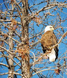Free Bald Eagle Stock Photo - 8382370