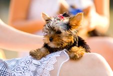 Free Woman With Tiny Terrier Royalty Free Stock Photos - 8382418