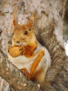 Free Squirrel Stock Images - 8383004