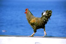 Free Chicken Or Rooster  On White Wall Stock Images - 8383044