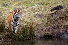 Free Siberian Tiger Cub Stock Images - 8383574