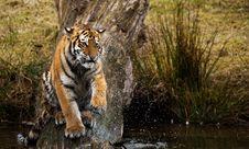 Free Siberian Tiger Cub Royalty Free Stock Image - 8383586