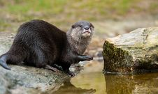 Free Oriental Small-clawed Otter Stock Image - 8383611