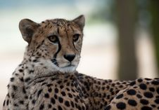 Free Cheetah Stock Image - 8383621