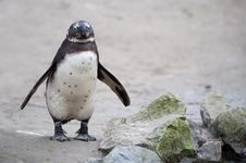 Free Cute Penguin Stock Photos - 8383683