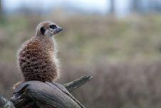 Free Meerkat (Suricata Suricatta) Royalty Free Stock Images - 8383689