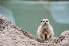 Free Meerkat (Suricata Suricatta) Royalty Free Stock Image - 8383696