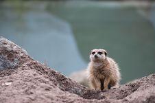 Free Meerkat (Suricata Suricatta) Royalty Free Stock Images - 8383699