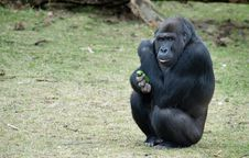 Free Gorilla Stock Image - 8383711