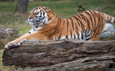 Free Siberian Tiger Royalty Free Stock Images - 8383729