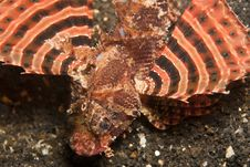 Zebra Lionfish Stock Photography
