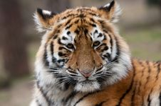 Free Siberian Tiger Cub Stock Photos - 8383753