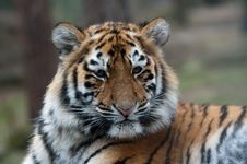 Free Siberian Tiger Cub Royalty Free Stock Photos - 8383758
