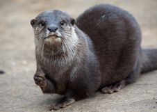 Oriental Small-clawed Otter Royalty Free Stock Images