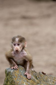 Cute Baby Hamadryas Baboon Stock Photography