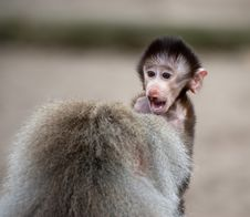 Cute Baby Hamadryas Baboon Stock Photos