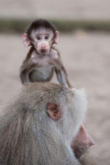 Cute Baby Hamadryas Baboon Royalty Free Stock Image