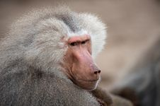 Adult Male Hamadryas Baboon Stock Photography