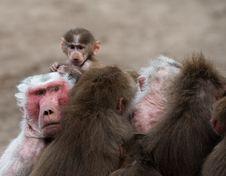 Cute Baby Hamadryas Baboon Royalty Free Stock Photo