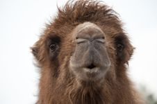 Close Up Of A Camel Stock Image